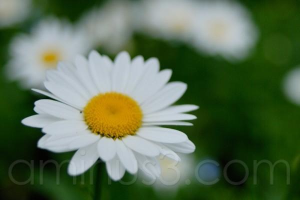 daisy, grain