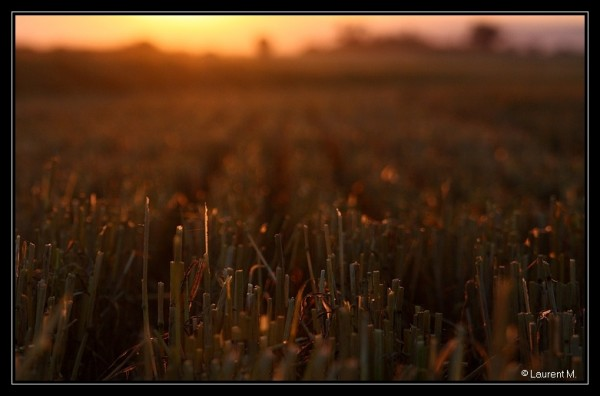 blés coupés