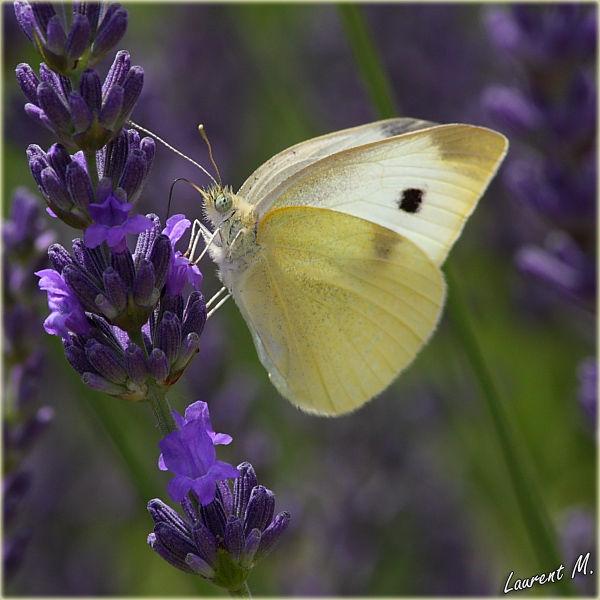 Lavender addict