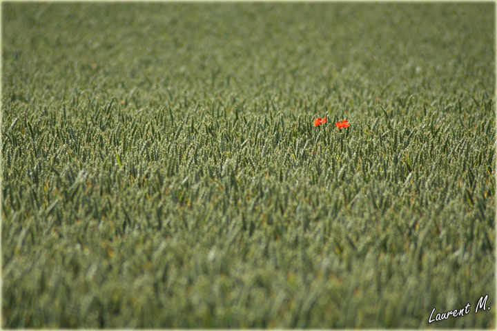 2 poppies
