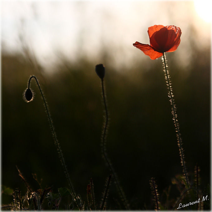 Poppies at dusk #2