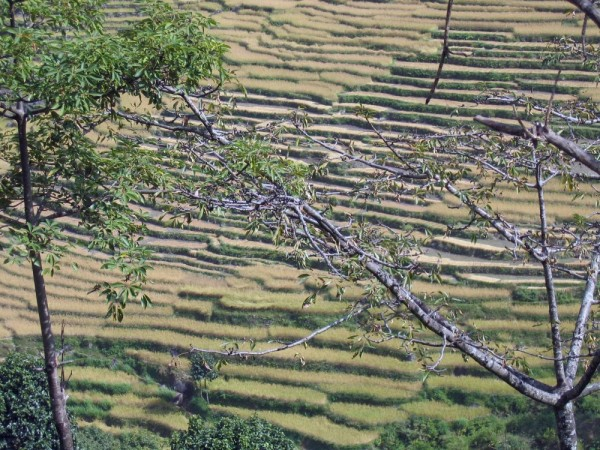 Annapurna Circuit - Rice fields