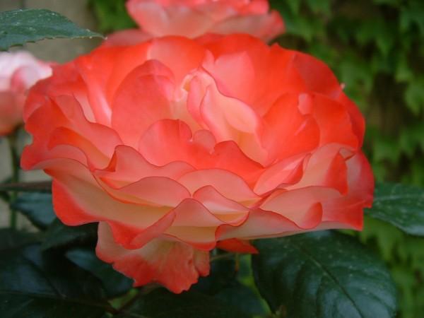 00201::Rose B-side