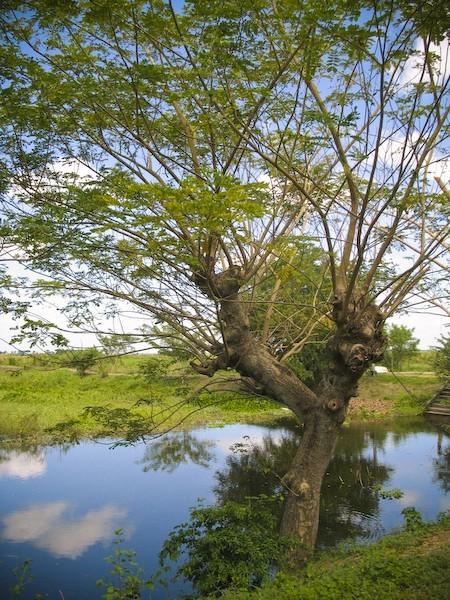 candaba swamp tree