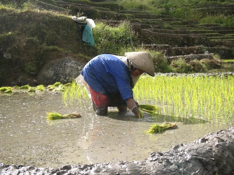 sagada rice terraces planting