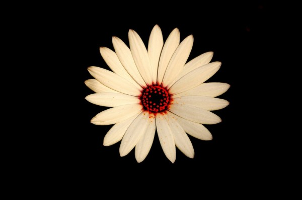 Daisy dark