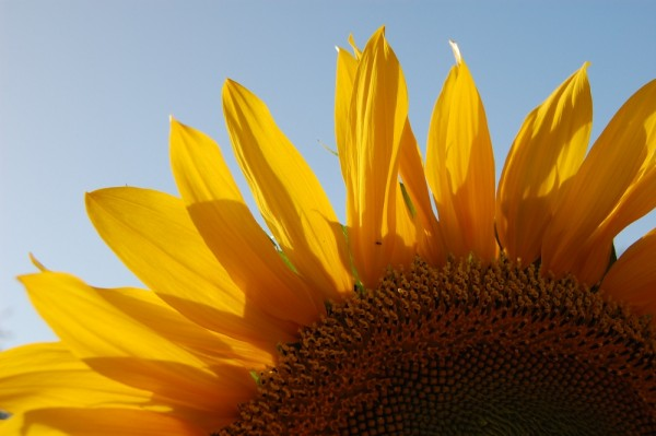 Sunflower 2/3