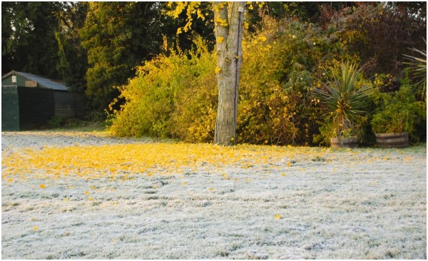 A Blanket of Yellow on Frosted Grass !