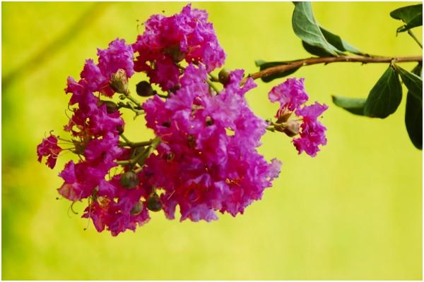 The Pink Flower Shrub