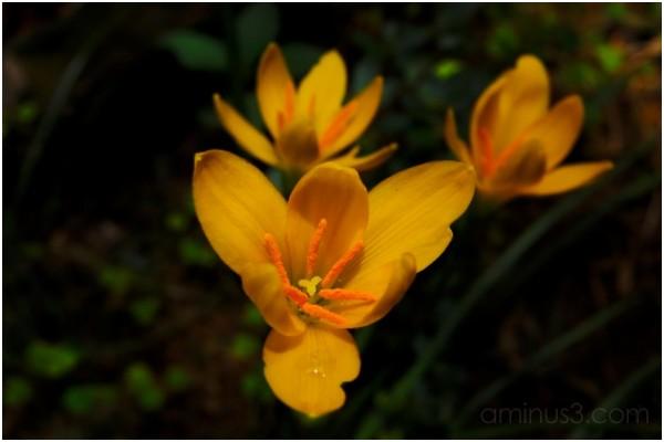 The Garden Lillies