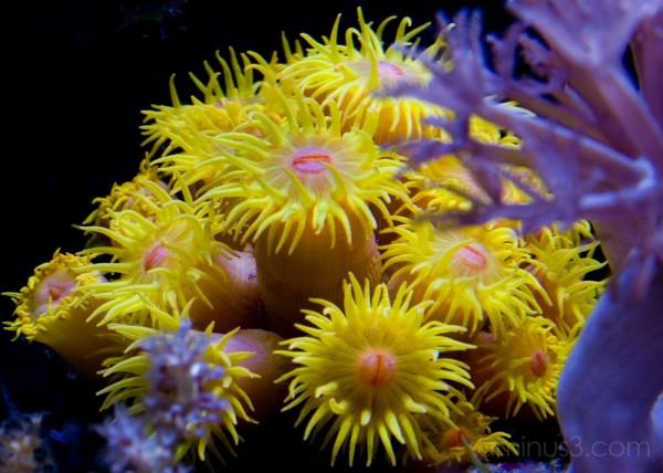 Sun Coral tubastrea faulkneri