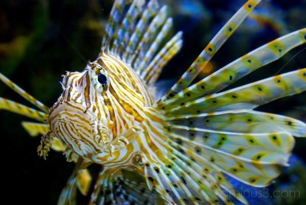 Aquarium of the Pacific Lion Fish