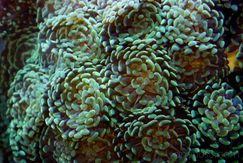 Hammer Coral at the Aquarium of the Pacific