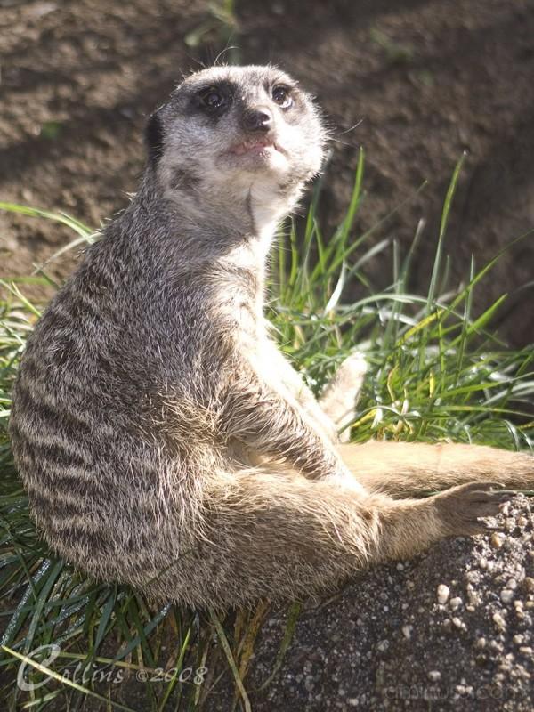 MeerKat LA Zoo