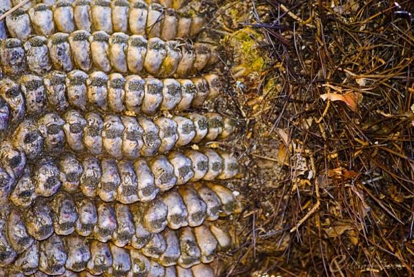 Barrel Cactus Rancho Santa Ana Botanical Gardens