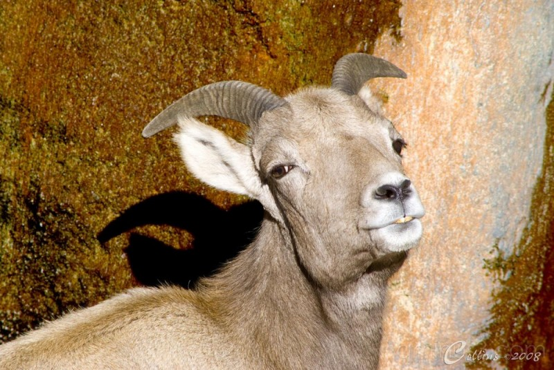 Big Horn Sheep Ewe