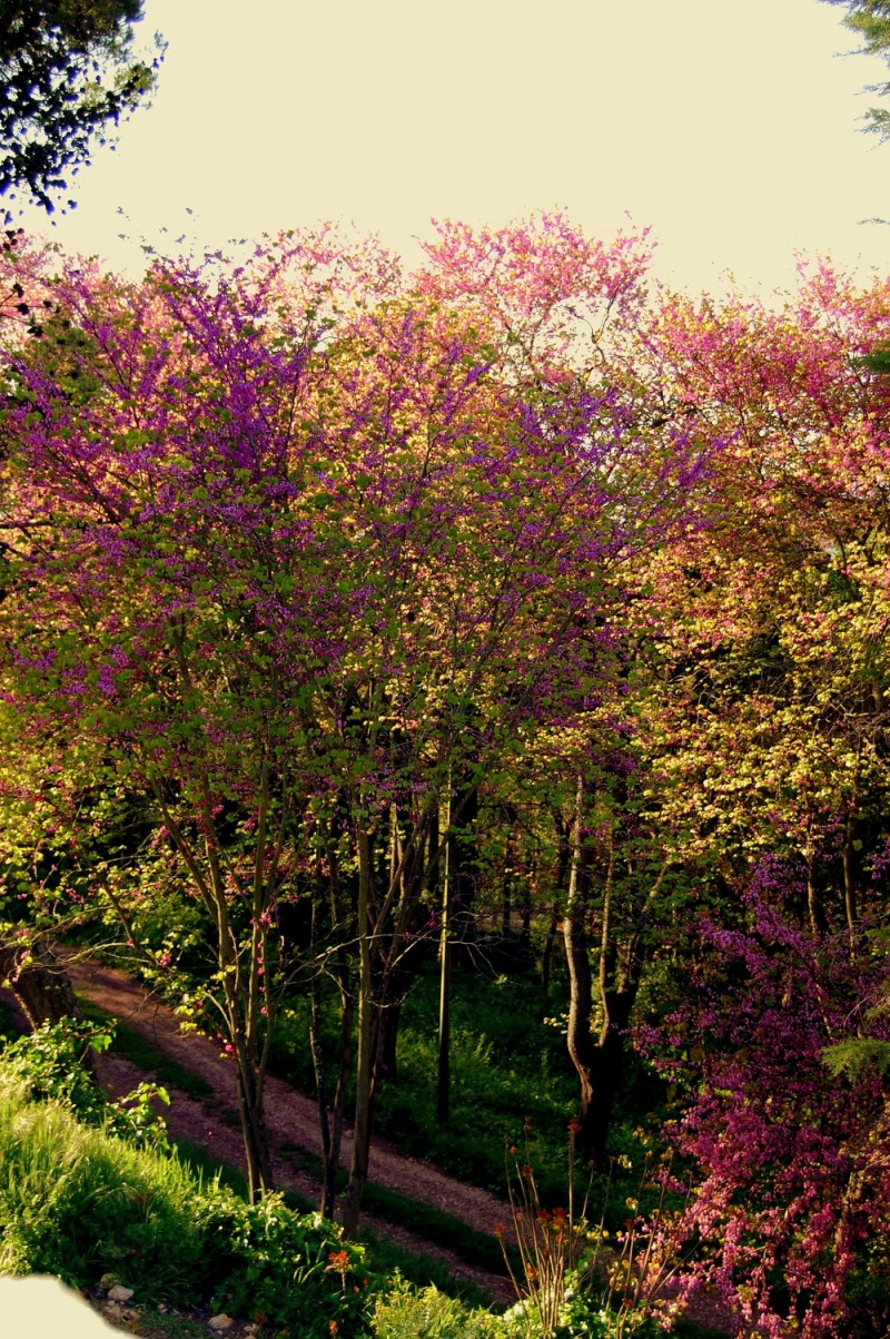The pink trees
