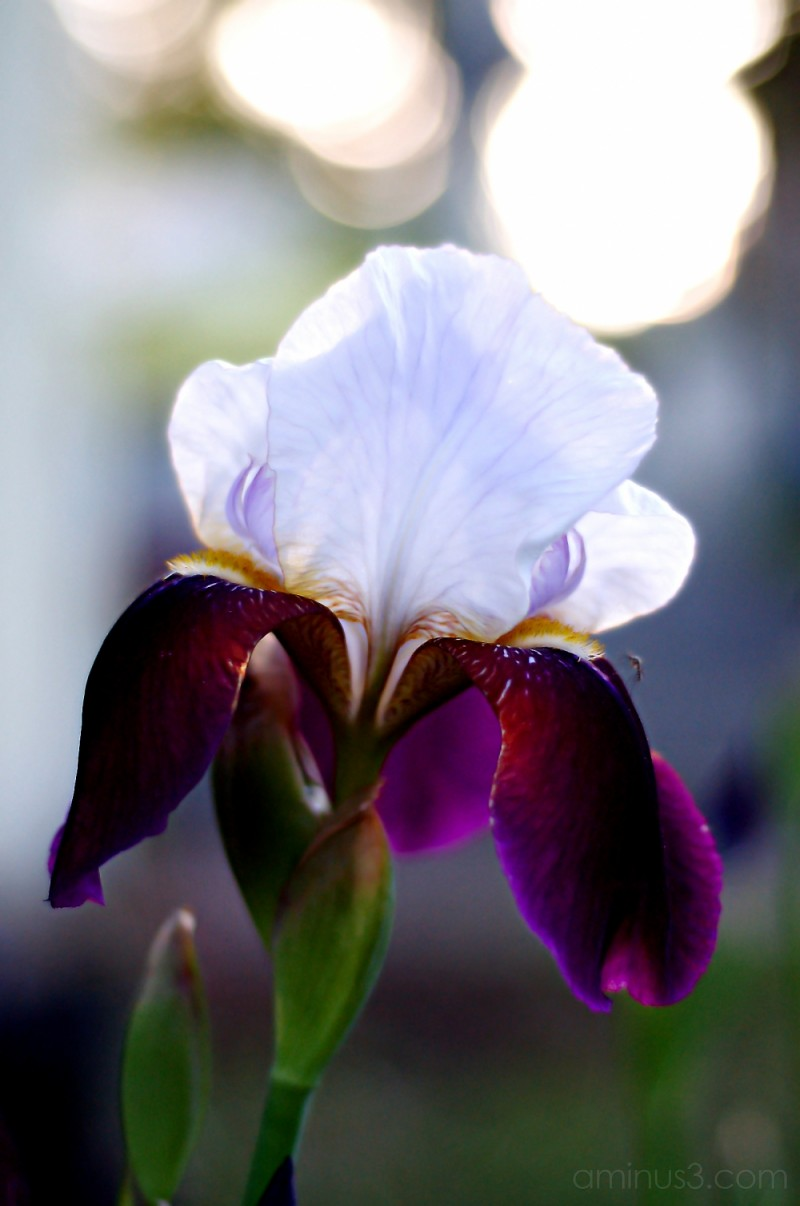 Iris and the Mosquito