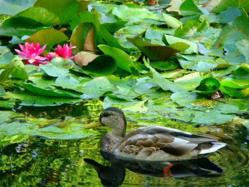 Duck in a pond