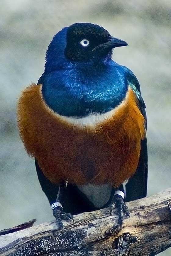 black faced, blue headed bird