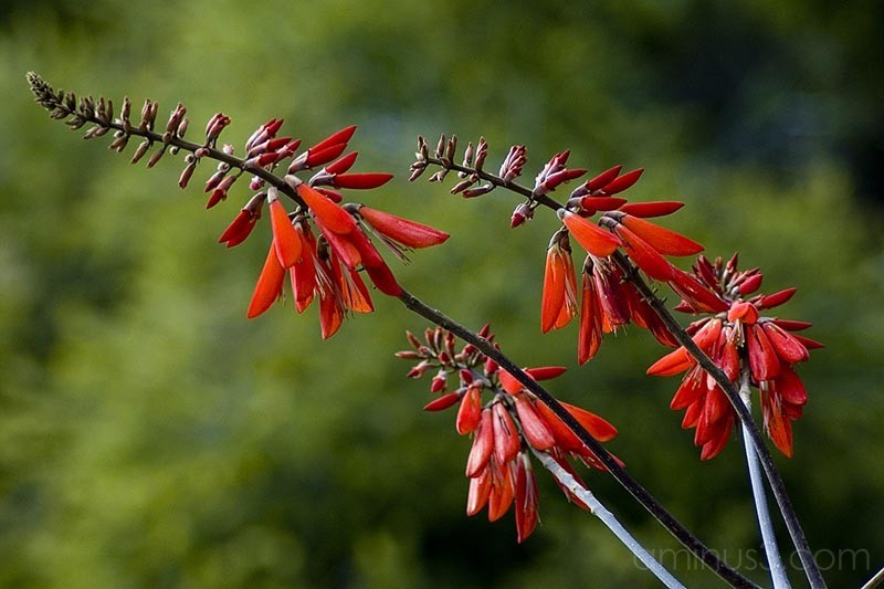Red Spikey Flowers