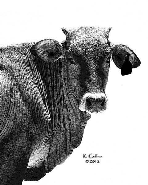 BW image  of a steer