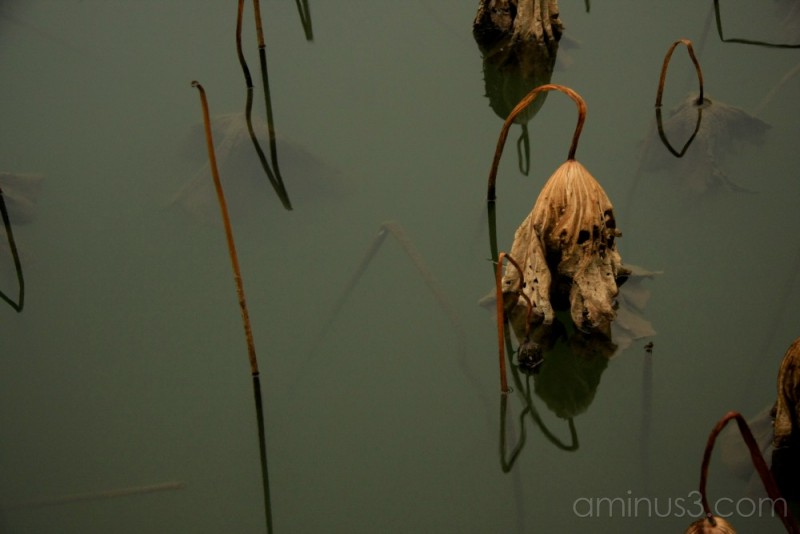 China, HangZhou, Lotus Leaf