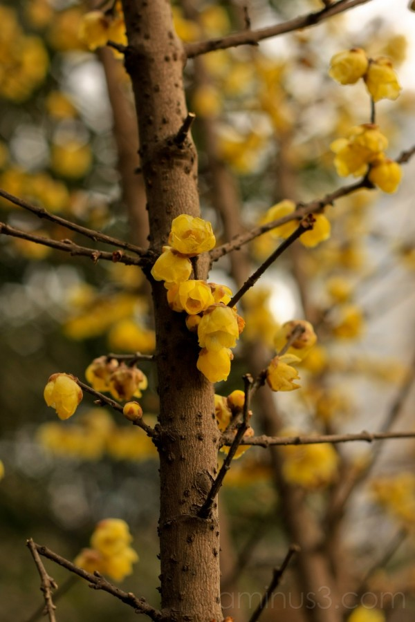China, Sichuan, ChengDu, Ren Min Park, Mei Flower