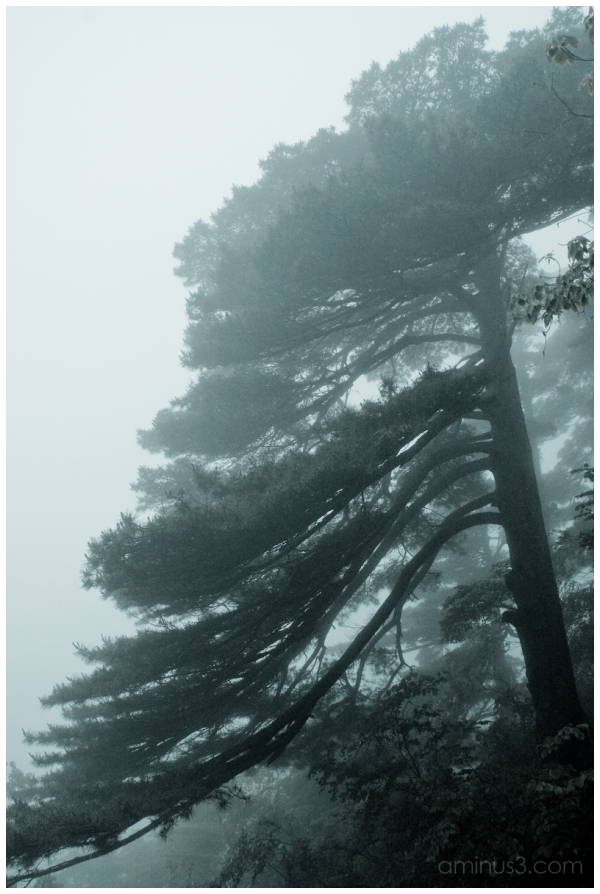 China, HuangShan, Pinetree