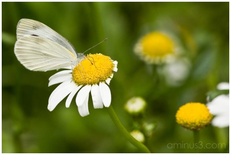 Butterfly (EF 70-300mm)
