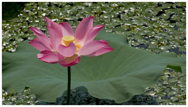 China, HangZhou, XiWu, Lotus