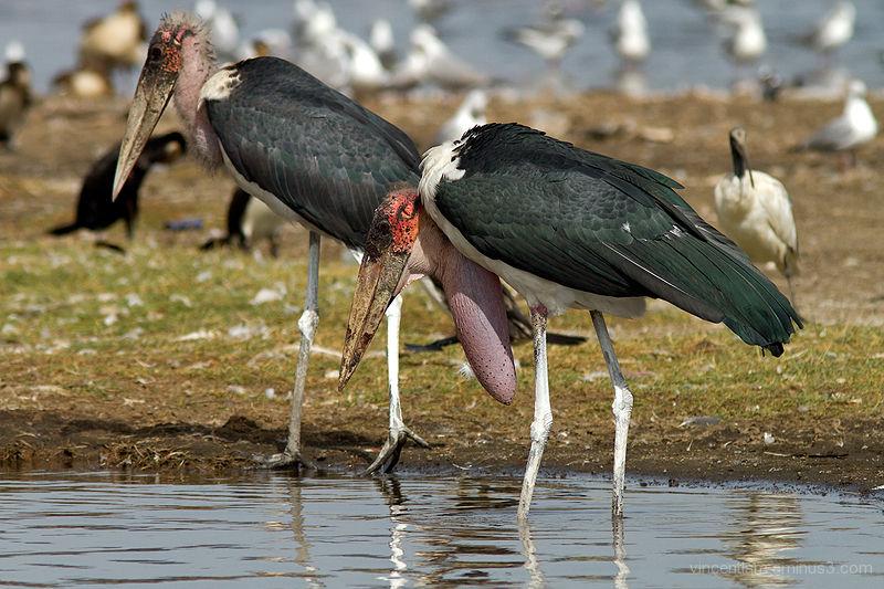 Kenya, Lake Nakuru