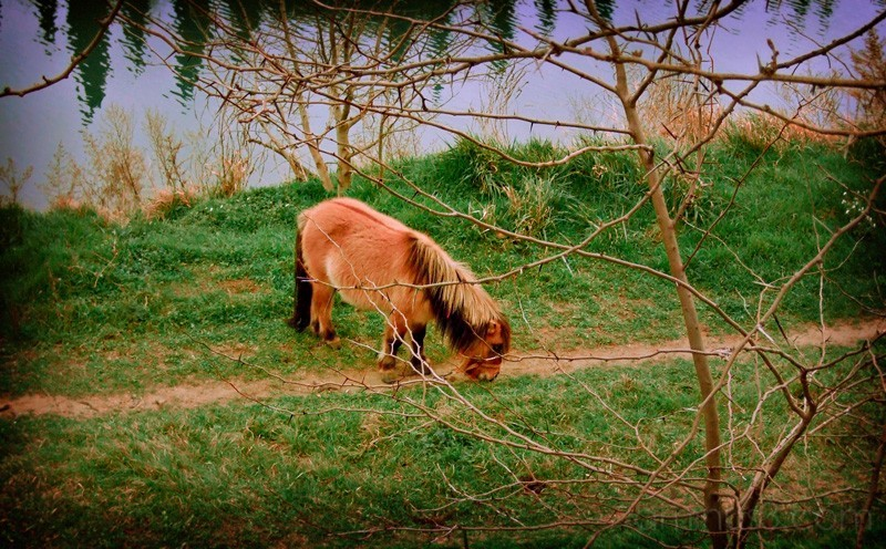 A pony grazing in the grass near a river.