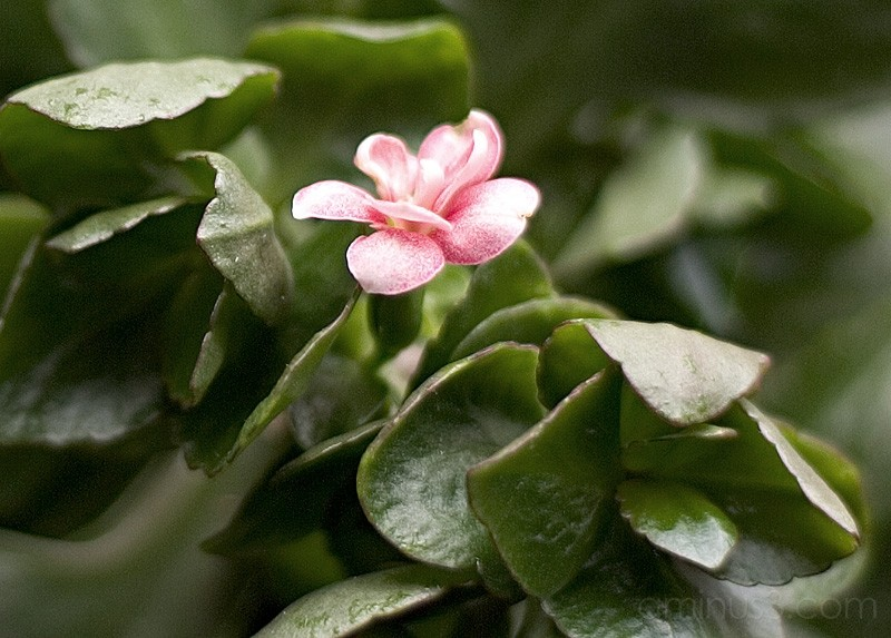 Chantal's pink flower amongst green leaves.
