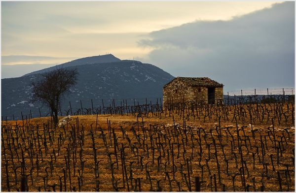 Bare winter vineyard with old stone building.