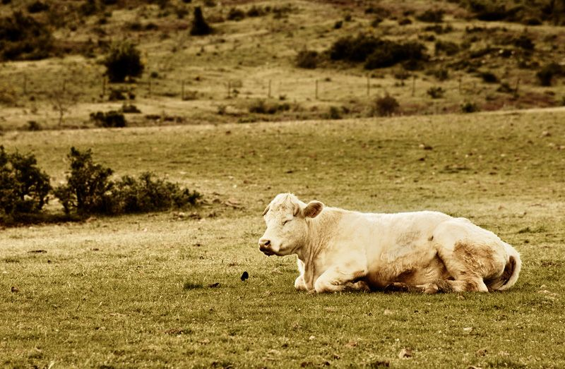 A cow resting in a field.