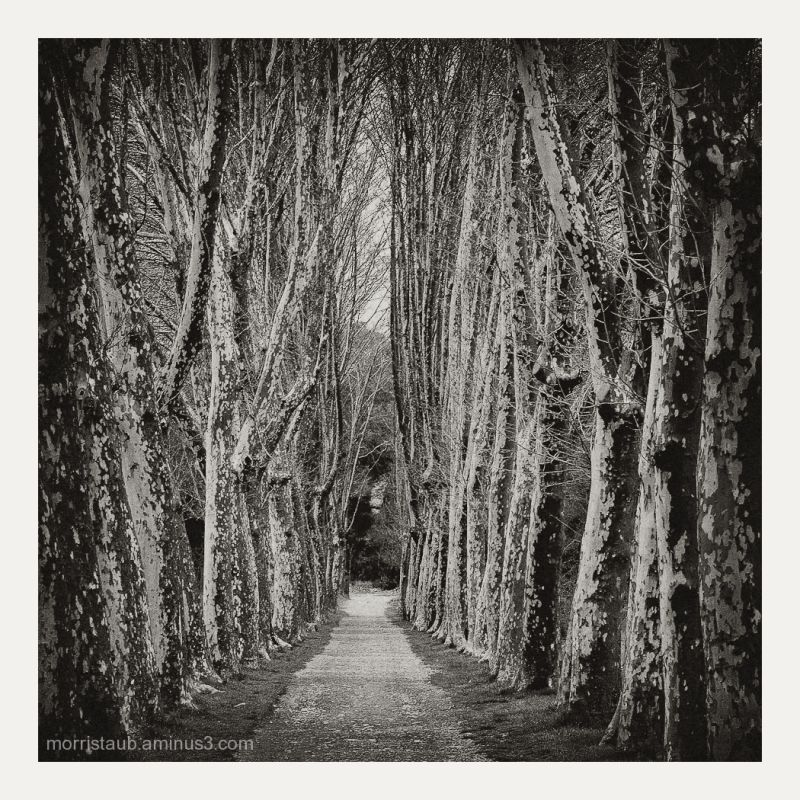 Typical alley of french plane trees.