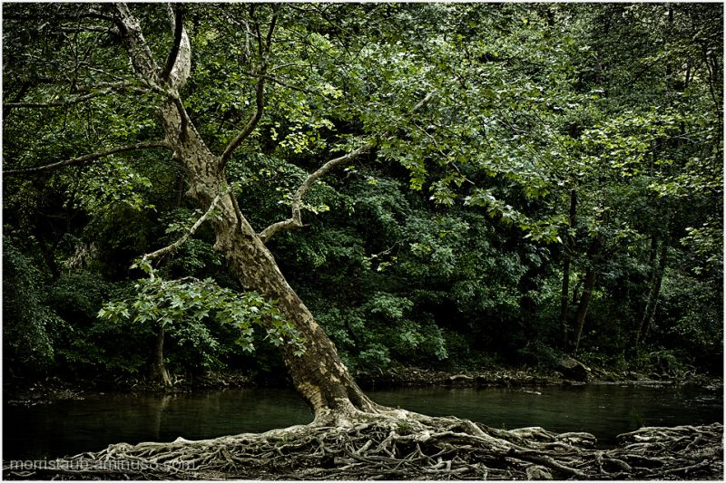 River, trees, roots, green.