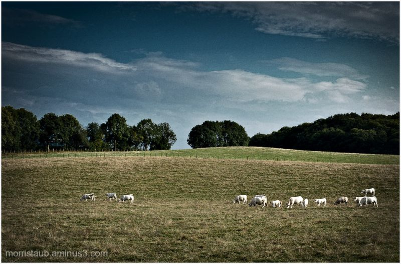 Cows in a pasture.