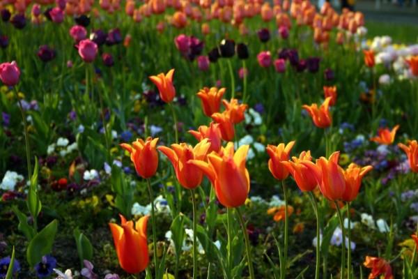 flowers tulips