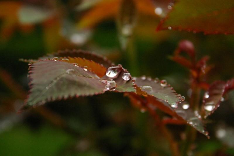 drops drop rose rain