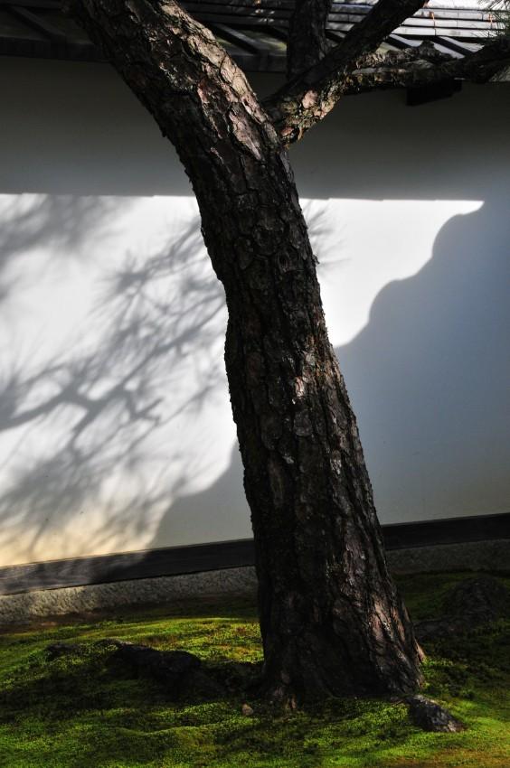 Pine Tree (松)