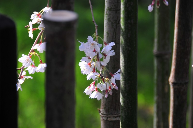 Cherry blossom (桜)