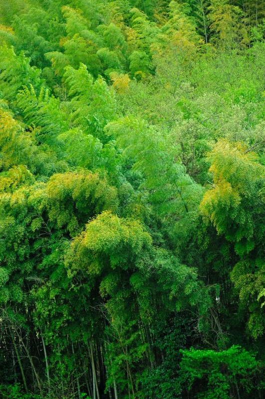 Spring Bamboo: Wind