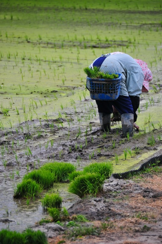 Spring Field: Rice Planting