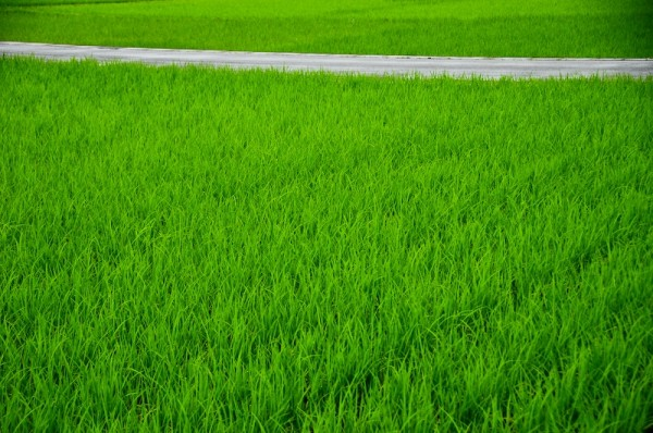 Harmony in Green and Gray: Rice Field