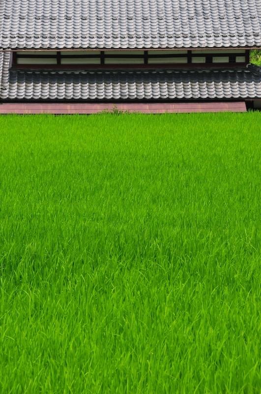 Rice field (田んぼ), 2
