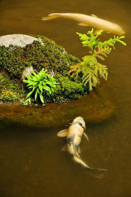 Carp (鯉)