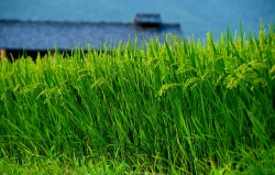 Summer Rice Field, 3