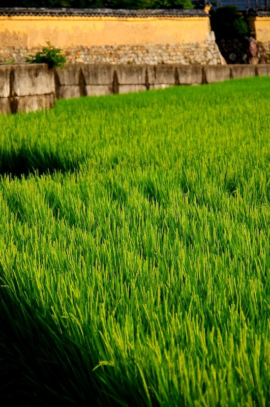 Summer Rice Field, 6